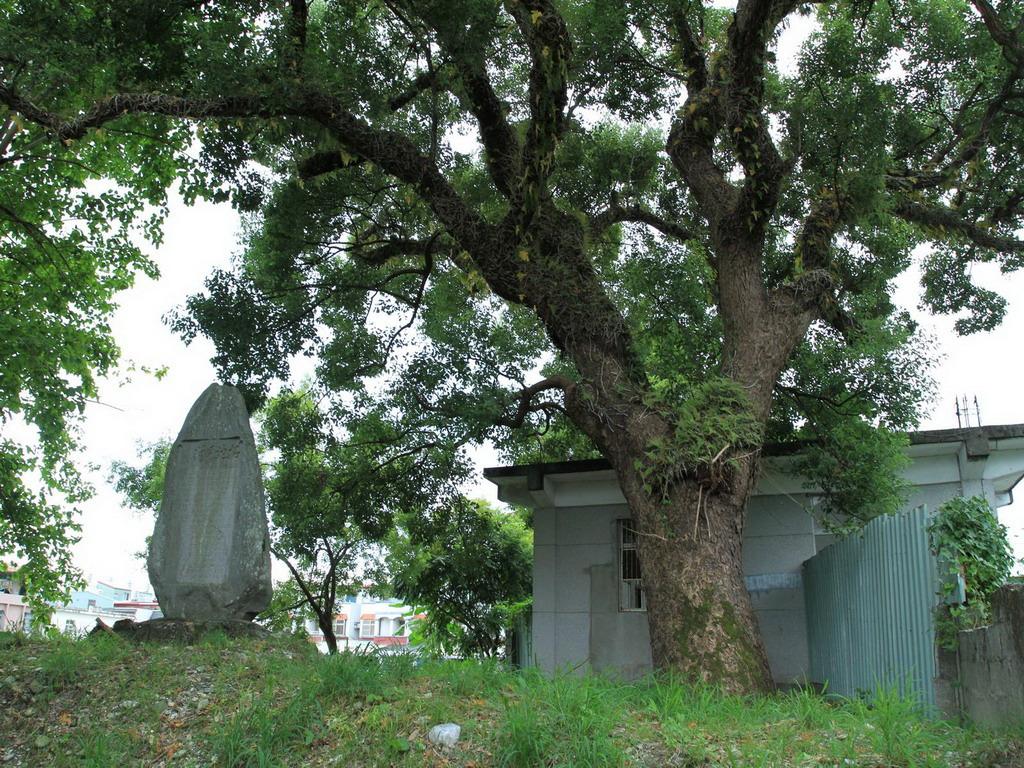 吉野開村記念碑旁的老樹至今已有百年左右的歲數。拍攝:黃家榮