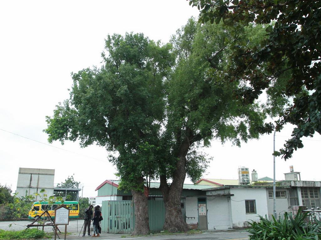 新城神社第二鳥居入口前原有一片樹林,不過現僅剩兩棵,目前已列為花蓮縣老樹管理。    拍攝:黃家榮