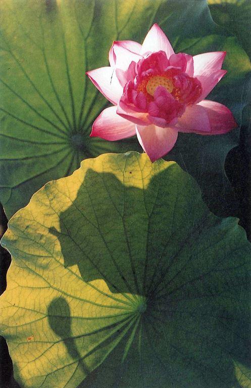 花開葉滿香 1986